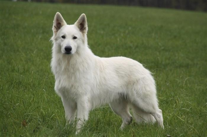 hvid schweizisk hyrdehund